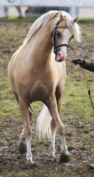 Gorgeous Palomino..