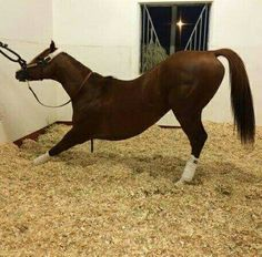 California Chrome doing his yoga before the big race. It seems to have worked he just won the Dubai World Cup in record time. 3/26/16