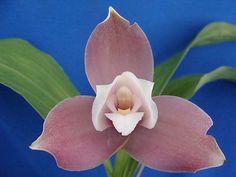 Angulocaste Shirley Senn Lycaste type orchid hybrid
