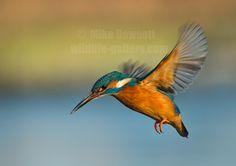 kingfishers - Google Search