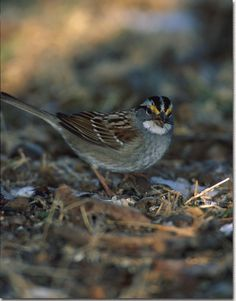 "White Throated Sparrow.  We used to call them ""bicycle birds"" because their head markings look like racing helmets.  :)"