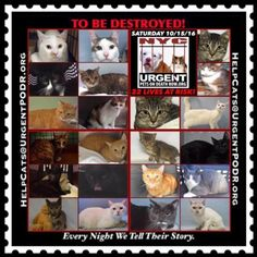 "TO BE DESTROYED 10/15/16 - - Info  Please share View tonight's list here: http://nyccats.urgentpodr.org/tbd-cats-page/  The shelter closes at 8pm. Go to the ACC website( http:/www.nycacc.org/PublicAtRisk.htm) ASAP to adopt a PUBLIC LIST cat (noted with a ""P"" on their profile) and/or … CLICK HERE FOR ADDITIONAL INF...-  Click for info & Current Status: http://nyccats.urgentpodr.org/to-be-destroyed-091716/"