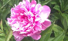 Peony from our 40+ year old plant...can't wait for spring!!