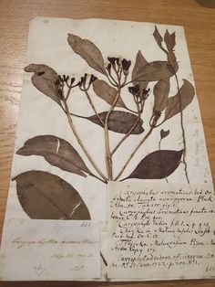 Clove specimen from the 17th century in the Oxford University Herbarium