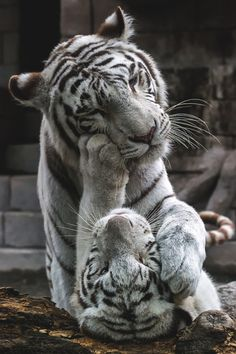 White Tigers playing.