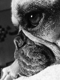B/W pug | #pug #dog #animals