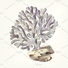 drawing - Violaceous Millipore coral