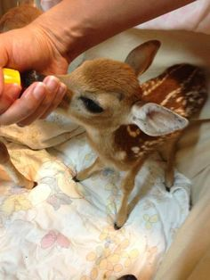Fawn being bottle-fed.