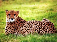 the biggest animals kingdom and in the world cheetah the genus name ...