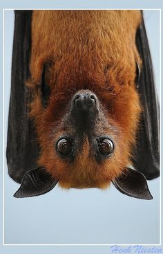 Fruitbat close-up -- [REPINNED by All Creatures Gift Shop]