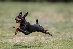 MINIATURE PINSCHER This is how our Jipsee runs!
