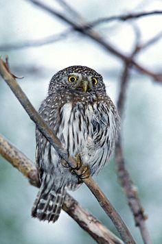 Northern Pygmy Owl (Glaucidium californicum). Photo by Greg Lasley.