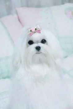 Such a cute puppy Relaxing Free Fun And Unique Dog Training E-book Featuring 21 Brain Games To Increase A Dogs Intelligence . I Love Dogs, Puppy Love, Cute Dogs, Adorable Puppies, White Puppies, Dogs And Puppies, Maltese Dogs, Teacup Maltese, Teacup Puppies