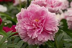 Incredible list of the many different types of peonies flowers. Includes all colors, bloom types and many varieties. This is a terrific checklist peonies guide. Peony Flower, My Fairy Garden, Flower Garden, Flowers, Plants, Easy Care Plants, Peonies, Types Of Flowers, Backyard