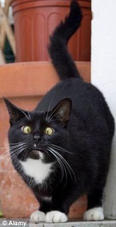 Ce beau chat noir et blanc aux yeux jaunes a pris de la cataire.