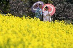 A kimono-clad couple pose for wedding photos in a rapeseed field at Hamarikyu Gardens in Tokyo. Photo: Eugene Hoshiko, Associated Press