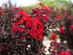 Black Diamond Crape Myrtles have bright red flower and black leaves which makes an excellent accent piece to landscapes around Dallas, Texas. Myrtle Tree, Powdery Mildew, Black Leaves, Dallas Texas, Flower Beds, Red Flowers, Black Diamond, Shrubs, Red Color