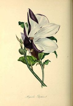 A wonderful free collection of antique magnolia flower paintings and botanical illustrations to download for free. Magnolia Flower, Magnolia Trees, Botanical Illustration, Botanical Prints, Peony Painting, Flower Paintings, Magnolia Soulangeana, Picture Boxes, Kew Gardens