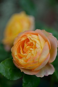 Large-flowered Climbing Rose: Rosa 'Baby Romantica' (France, 2010)