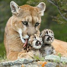 Mom and Cubs  #WildworldFriend