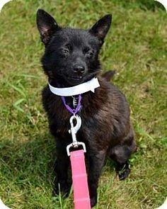 Schipperke Dog for adoption in Fargo, North Dakota - Frenchie