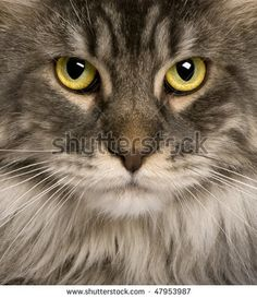 close up of a Maine Coon (2 years old) or coon cat, maine cat, maine shag - stock photo