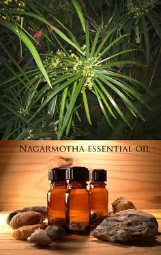 Nagarmotha (Cyperus scariosus) is found in all tropical, subtropical and temperate regions of the world. In India, it is commonly known as Nagarmotha and it belongs to the family Cyperacea.  The oil has been widely used in aroma therapy for its pain relieving effects and anti – inflammatory properties.  It's well known in India and used for scenting saris and other traditional outfits. Read more http://on.fb.me/1LCTJUO. To know more about us, please visit www.cplaromas.com
