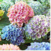 Hydrangea macrophylla 'Hokomarevo' Everlasting™ Revolution