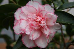 "Camellia jap. ""Shuchuka"""