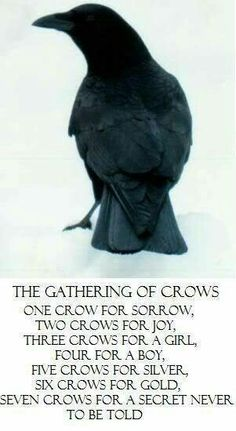 Gathering of crows