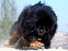 ginormous Tibetan Mastiff - he looks a little angry