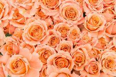 「オレンジのばらのテクスチャオレンジのばらのテクスチャ」のフリー写真素材