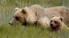 mother with baby bear in alaska - Video of mother with baby bear eating grass.