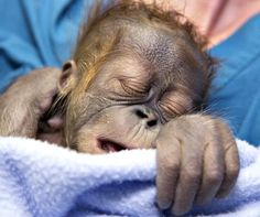 A male Sumatran Orangutan infant born at Zoo Atlanta on January 10 came into the world in an unusual way: he was delivered by Caesarean section with the help of human obstetricians, neonatologists, and veterinary anesthesiologists. This Caesarian section is...