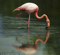 Flamingoes use make-up: Colourful birds use pigments to make their ...