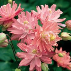 Aquilegia vulgaris 'Clementine Salmon Rose'- PERENNIAL  Zone 3-9. Attracts butterflies & hummingbirds.