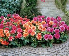 """Border Dahlia:  This collection contains the following three varieties; 'Berliner Kleene', 'Margareth Kleene' and 'Bluesette'.    Profuse bloomers. Flowers are about 4"""" in diameter. Plants grow to 15"""" tall. These dahlias do well in both sun and part shade. Excellent for the front of the border, edging, patio and containers."""