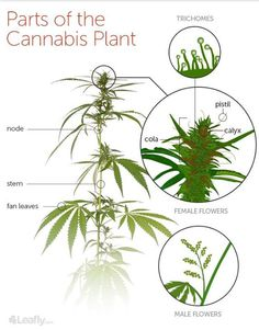 The cannabis plant is comprised of several structures, many of which we can find on any ordinary flowering species. Cannabis grows on long skinny stems with its large, iconic fan leaves exte… Growing Weed, Cannabis Growing, Cannabis Plant, Cannabis Cultivation, Marijuana Facts, Parts Of A Plant, Medical Cannabis, Hydroponics, Aquaponics System