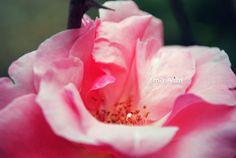 el centro de una rosa