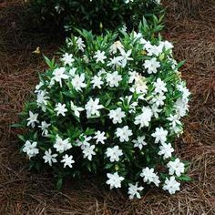 Dwarf Size, Huge Fragrance! - • Scented double-blooms • Space-saving dwarf grows just 2 ft. tall • Perfect as a low border or container plant • Adaptable to any soil, and low-maintenance Dwarf Radicans Gardenias are the most adaptable and fragrant dwarf shrubs you can find. You get citrusy-scented...