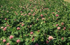 Red Clover: Antibiotic Alternative for Cattle – On Pasture