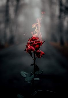 wallpaper rose Rose on fire Rose on fire Flower Phone Wallpaper, Rose Wallpaper, Cute Wallpaper Backgrounds, Pretty Wallpapers, Aesthetic Iphone Wallpaper, Photo Backgrounds, Aesthetic Wallpapers, Background Images, Wallpaper Samsung