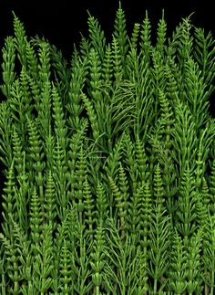 Equisetum arvense Vertical Plant Wall, Seed Pods, Medicinal Herbs, Garden Landscaping, Unity, Weed, Photo Art, Herbalism, Lime