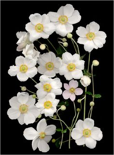 Anemones. White, Ivory and Neutral Colored Plants, Scanner Photography,... - Scanner Photography By Ellen Hoverkamp