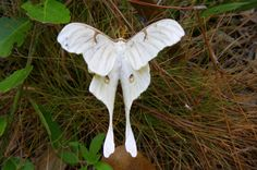 the-moth-princess:    A rare case of Actias luna albinism