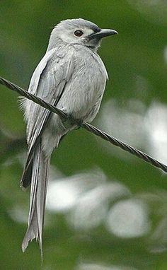 Birds in Thailand: Ashy Drongo