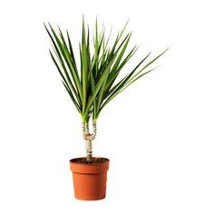 IKEA DRACAENA MARGINATA potted plant
