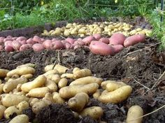 Video: Grow potatoes – Big harvest on a small square – Growing Potatoes - Growing Plants at Home Landscaping Plants, Garden Plants, Agriculture, Farming, Propogating Plants, Grow Potatoes In Container, Hippie Garden, Tree Pruning, Family Garden