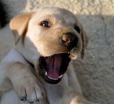 Timeless Labradors: Week five...