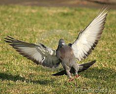 wild pigeons landing - Google Search